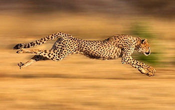 Fast Performance - Cheetah Running